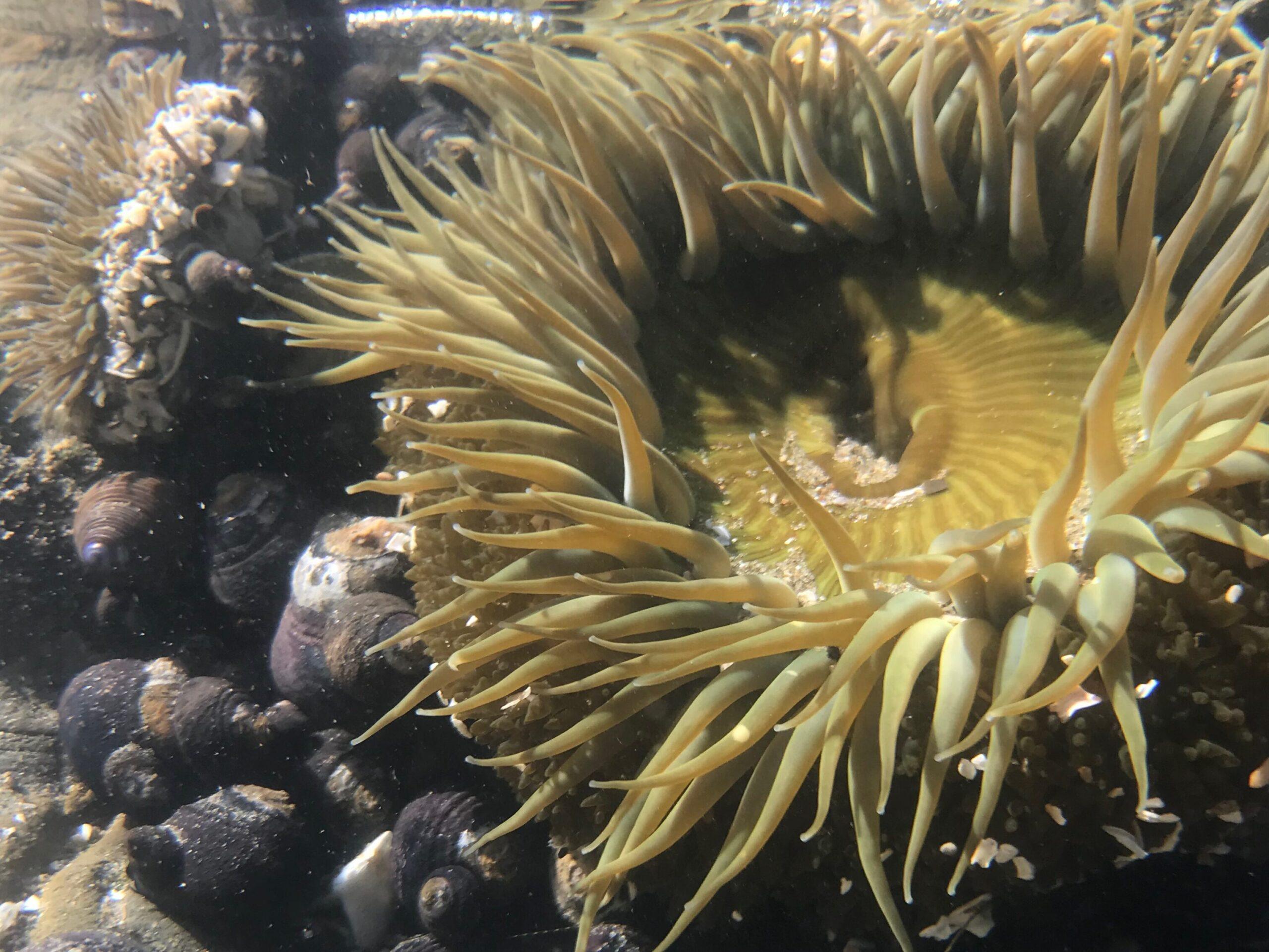 Sea Anemobe in water